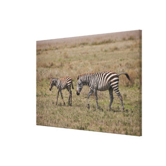 young Plains Zebra with mother, Equus quagga, Stretched Canvas Print