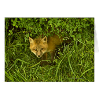Young Red Fox coming out from hiding in bushes Card