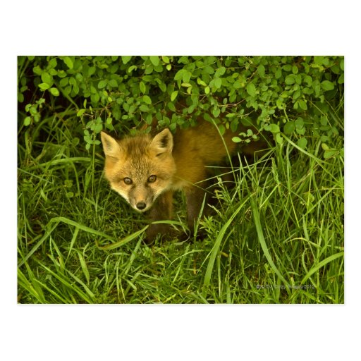 Young Red Fox coming out from hiding in bushes Post Cards
