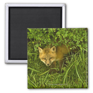 Young Red Fox coming out from hiding in bushes Square Magnet