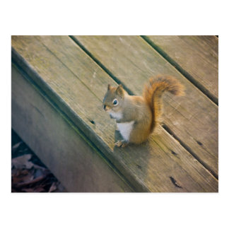 Young red squirrel/young talk squirrel postcard