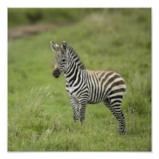 Young Zebra In The Serengeti Plain Poster
