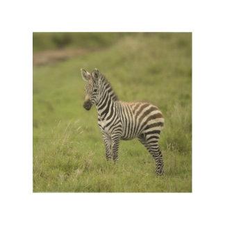 Young Zebra In The Serengeti Plain Wood Prints