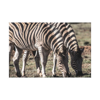 Zebra, Addo Elephant National Park, South Africa Canvas Print
