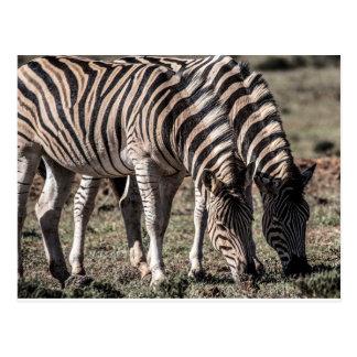 Zebra, Addo Elephant National Park, South Africa Postcard