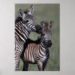 Zebra African Wildlife Poster Print