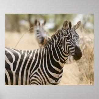 Zebra at the Meru National Park, Kenya. Poster