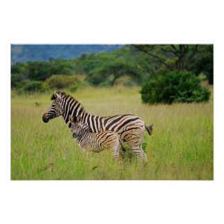 Zebra baby and mom print