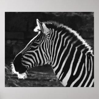 Zebra black and white ...