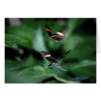 Zebra butterflies, Heliconius charitonius Greeting Card