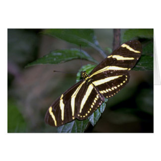 Zebra butterfly, Costa Rica Greeting Cards