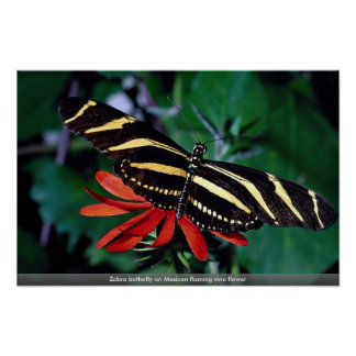 Zebra butterfly on Mexican flaming vine flower Print