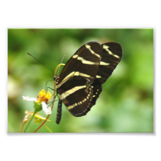 Zebra Butterfly Photo