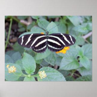 Zebra Butterfly Photo Poster