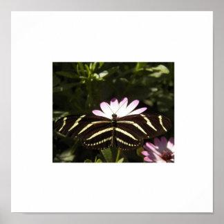 Zebra Butterfly White Border Poster
