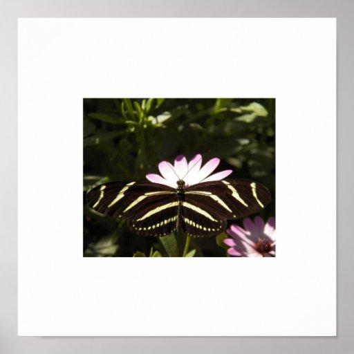 Zebra Butterfly White Border Posters