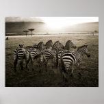 Zebra Dawn Poster