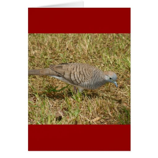 Zebra Dove Cards