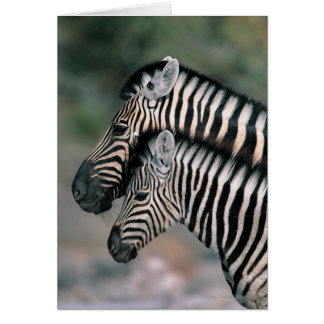 Zebra (Equus burchelli), Etosha National Park, Card