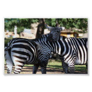 Zebra Friends Poster