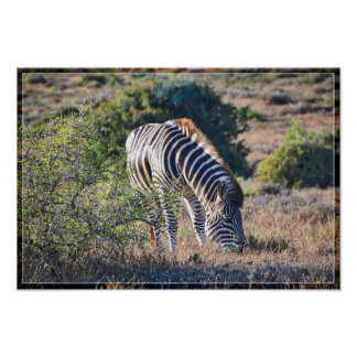Zebra Grazing Poster