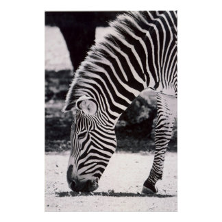 Zebra head - black and white poster