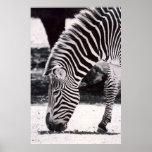 Zebra head - black and white print