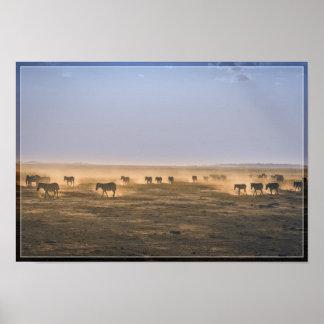Zebra Herd 1 Poster