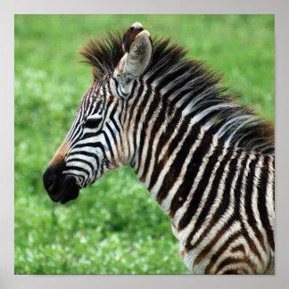 zebra horse poster