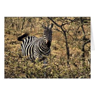 Zebra in the bush greeting cards