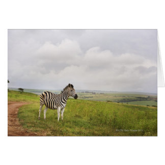 Zebra in the countryside, South Africa Card