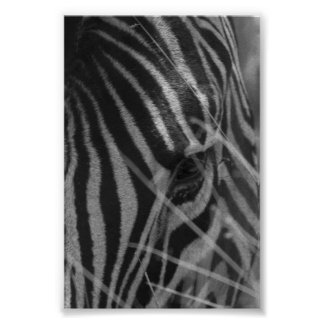 Zebra in the Grass Poster