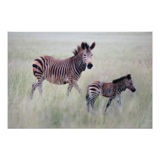 Zebra mom and baby poster