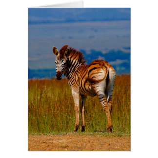 Zebra on the mountain cards