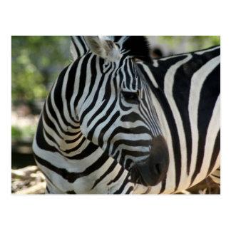 Zebra Pose Postcard