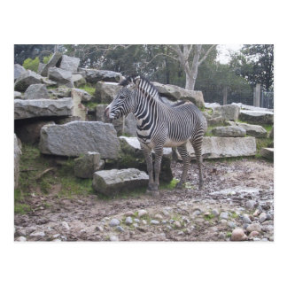 Zebra posing postcard