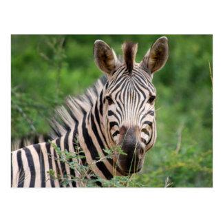 Zebra profile postcard