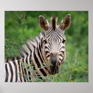 Zebra profile print
