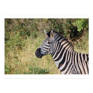 Zebra Stripes Animal African Safari Destiny Post Card