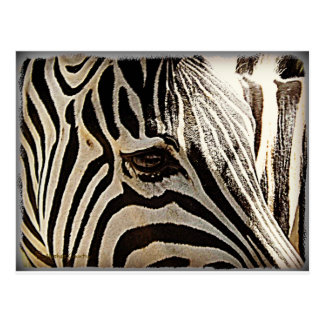 "Zebra ""Stripes"" Postcard"