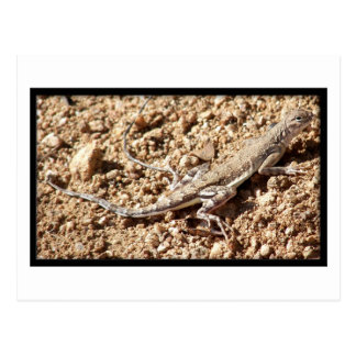 Zebra-Tailed Lizard Postcard