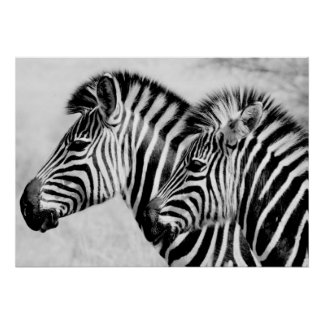 Zebras Animals Wildlife Black and White Poster