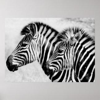 Zebras Animals Wildlife Black and White Poster