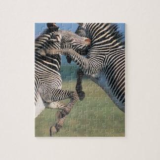 Zebras fighting (Equus burchelli) Jigsaw Puzzle