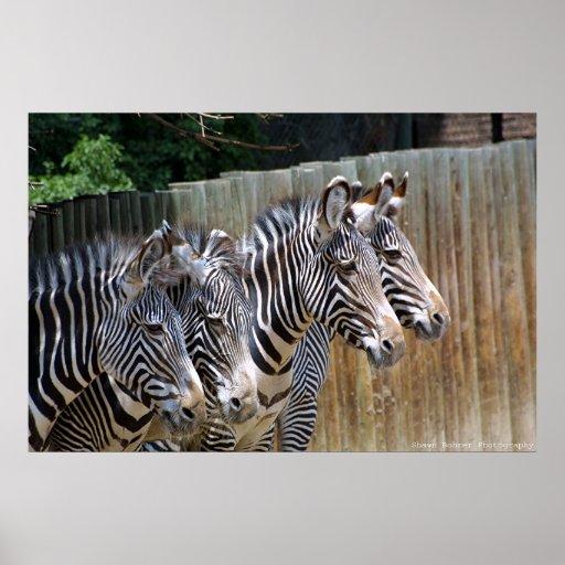 Zebras in a Row Print