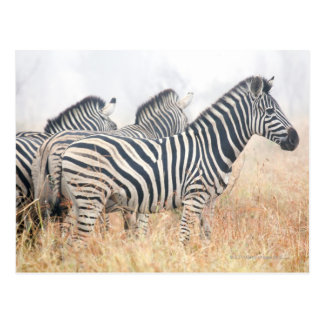 Zebras in early morning dust, Kruger National 2 Postcard