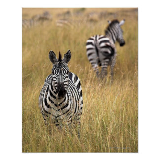 Zebras in tall grass poster