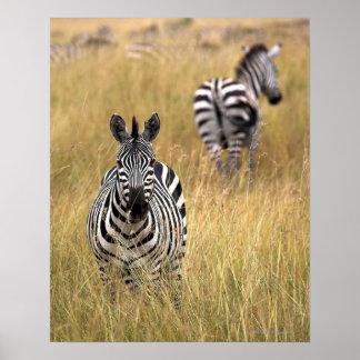 Zebras in tall grass poster