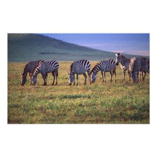 Zebras on the Serengetti Plains at Sunrise, Photo