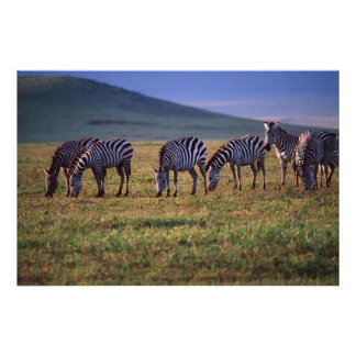 Zebras on the Serengetti Plains at Sunrise, Poster